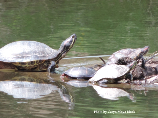 Turtles copy
